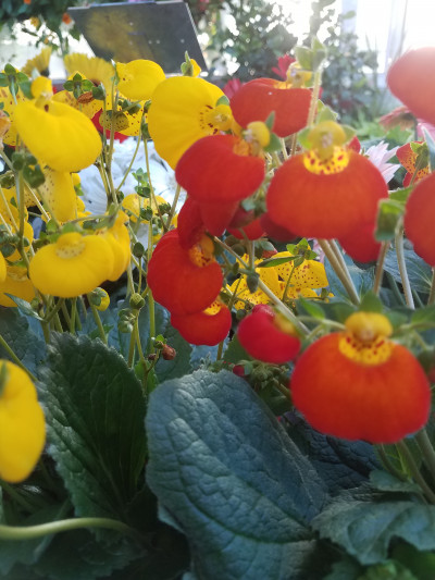 Calceolaria2(slipper flower)