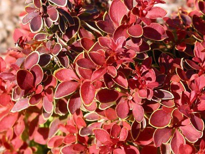 Barberry. Admiration