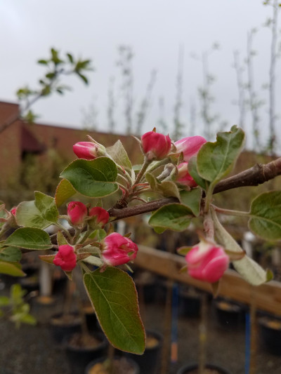 Apple Tree Bud