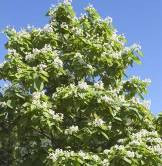 Catalpa, Northern