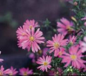 Aster, Wood's Pink
