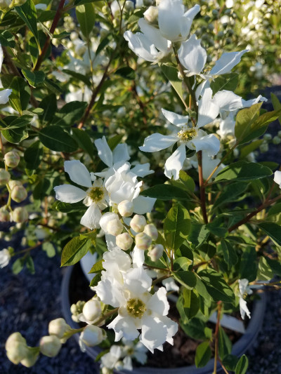 Apple Tree Flowers2