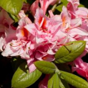 Azalea, Electric Lights Double Pink