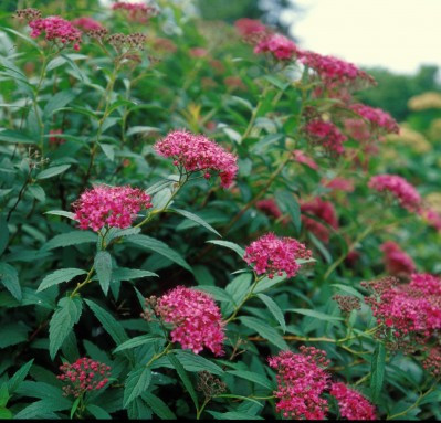 Spiraea Darts Red