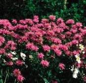 Bee Balm, Marshall's Delight