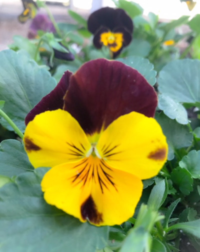 Pansy3