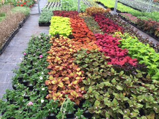 Greenhouse Production Coleus