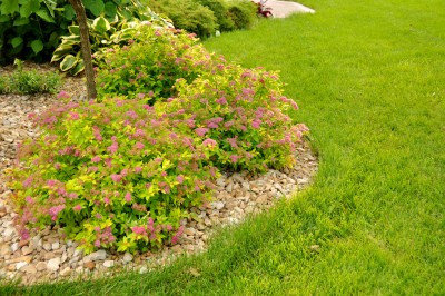 Spirea Magic Carpet