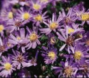 Aster, Wood's Light Blue
