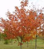 Maple, Northwood Red