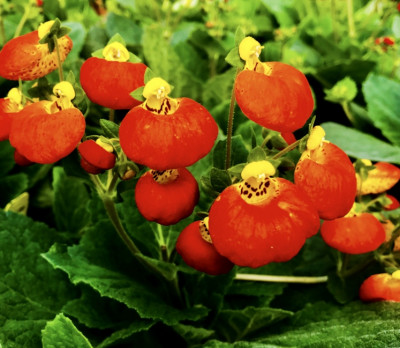 Calceolaria(slipper flower)