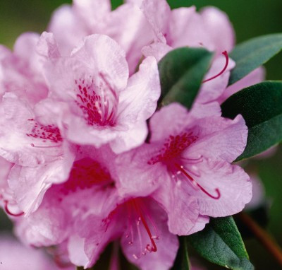 Rhododendron Aglo pink_CC.jpg