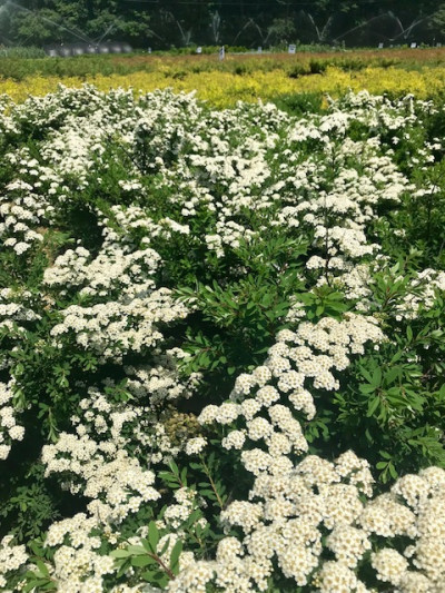 Spirea in Scandia Nursery Range