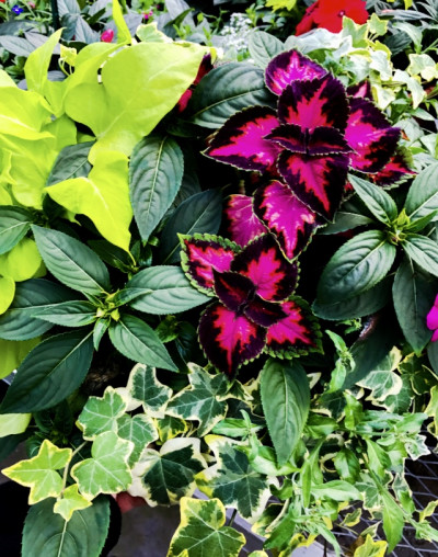 Coleus.Impatiens.Sweet Potato vine