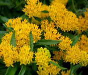 Asclepias, Hello Yellow