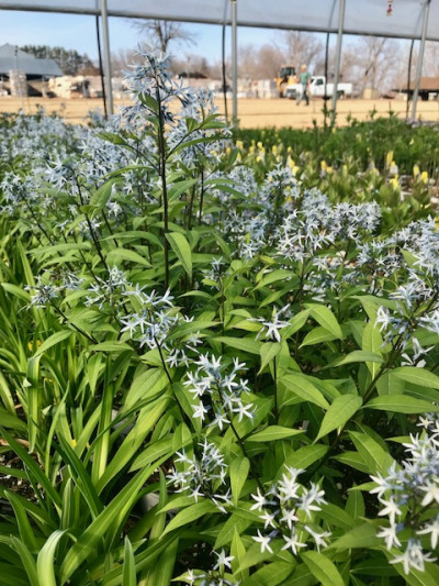 Amsonia, Storm Cloud