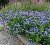 Amsonia, Blue Ice